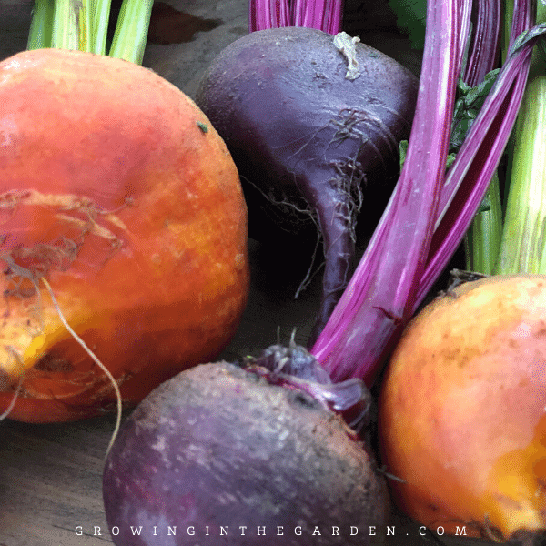 How to Grow Beets: 7 Tips for Growing Beets #gardentips #gardening #howtogrowbeets #beets