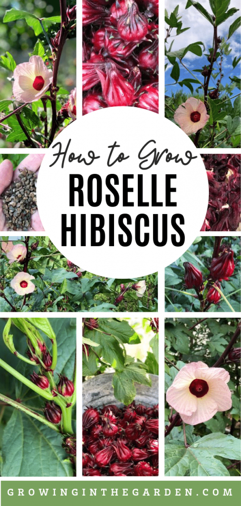 How to grow Roselle Hibiscus: Growing Jamaican Sorrel