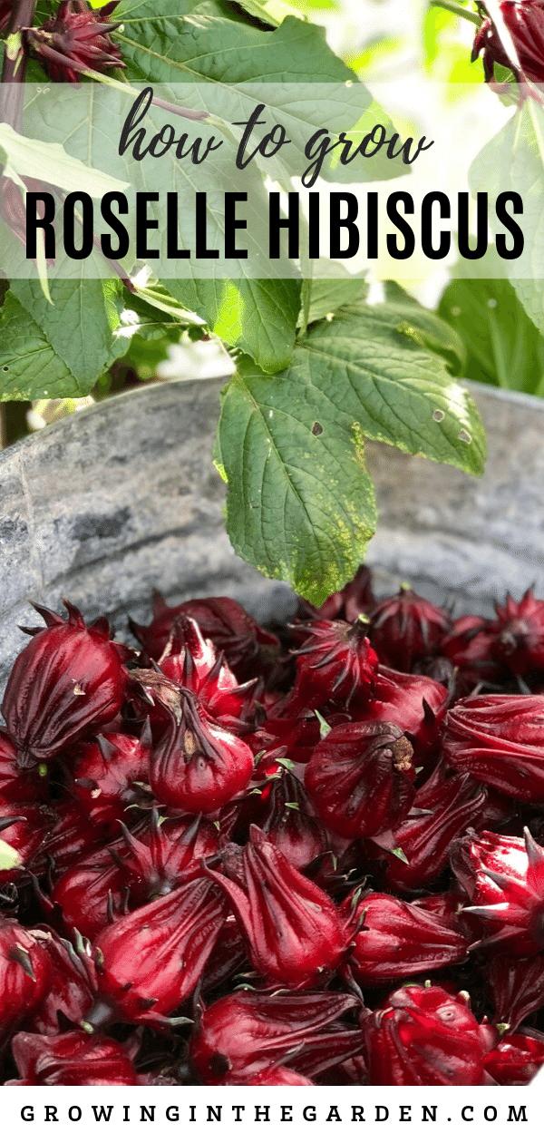 How to grow Roselle Hibiscus: Growing Jamaican Sorrel