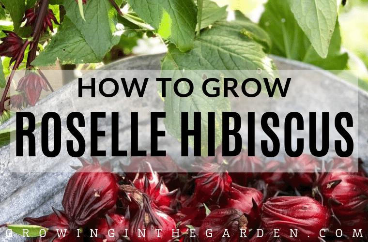 How to grow Roselle Hibiscus_ Growing Jamaican Sorrel