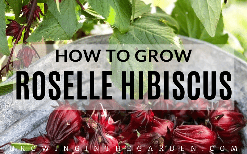 How to grow Roselle Hibiscus_ Growing Jamaican Sorrel
