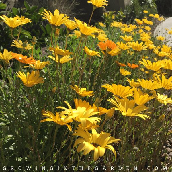 Cool Season Hardy Annual Flowers for Arizona
