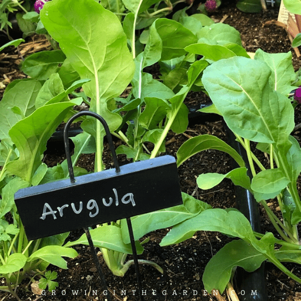 Arizona Vegetable Planting Guide- When to plant arugula in Arizona