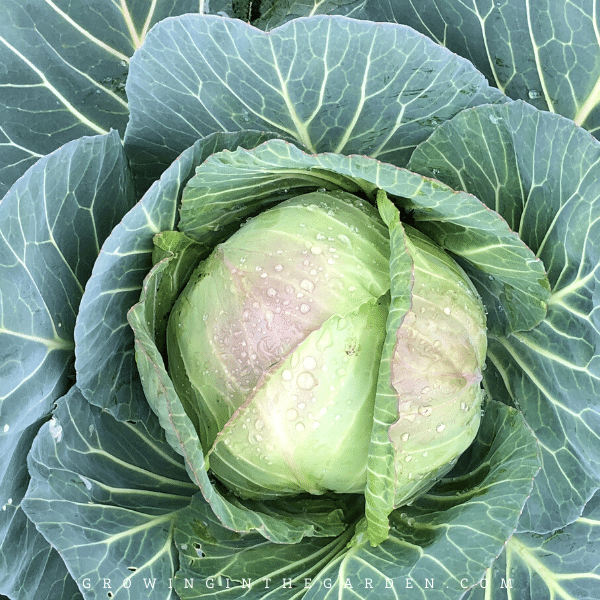 How to Grow Cabbage: 10 Tips for Growing Cabbage #gardentips #gardening #howtogrowcabbage #cabbage
