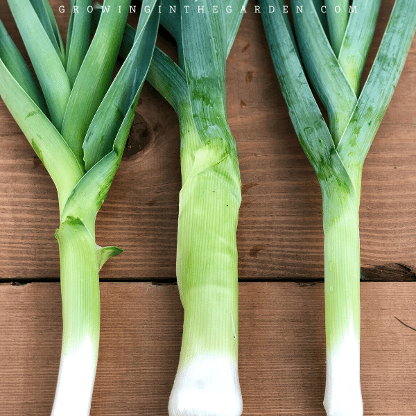 Arizona Vegetable Planting Guide- When to plant leeks in Arizona