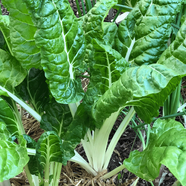 Arizona Vegetable Planting Guide- When to plant swiss chard in Arizona