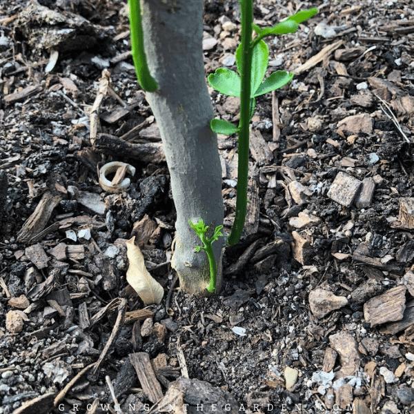 How to grow citrus in Arizona #arizonacitrus #citrus