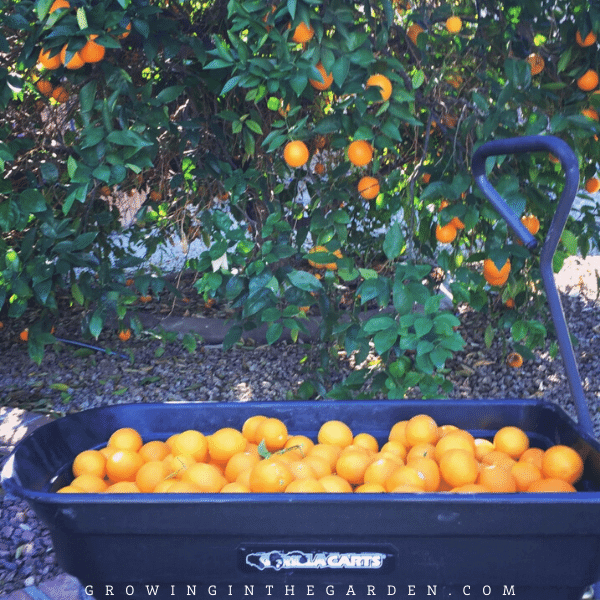 How to grow citrus in Arizona #arizonacitrus #citrus