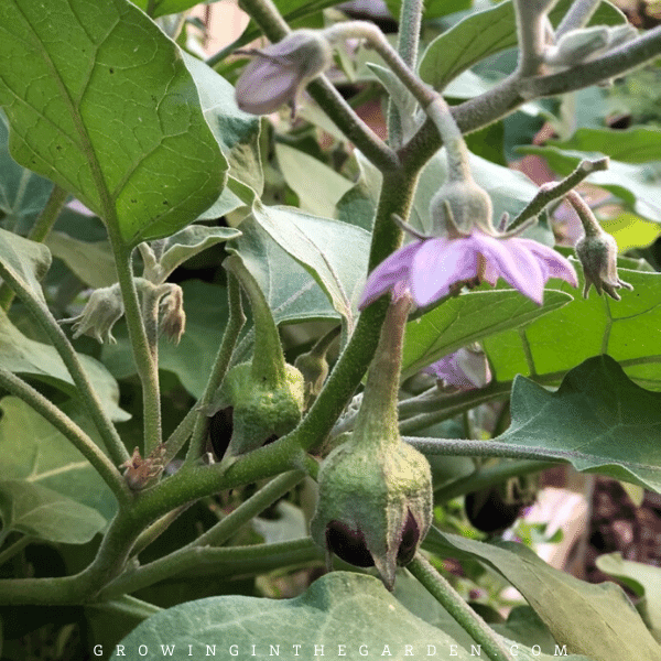 How to grow eggplant - Tips for growing eggplant