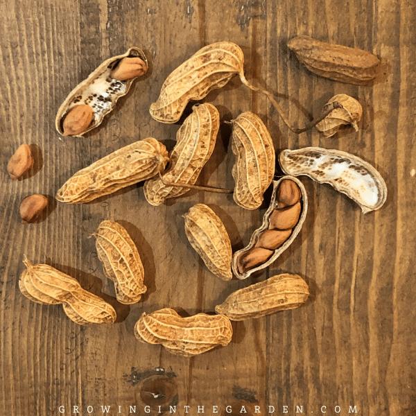 How to grow peanuts in Arizona