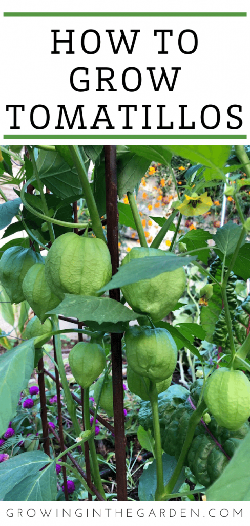 How to Grow Tomatillos: 7 Tips for Growing Tomatillos