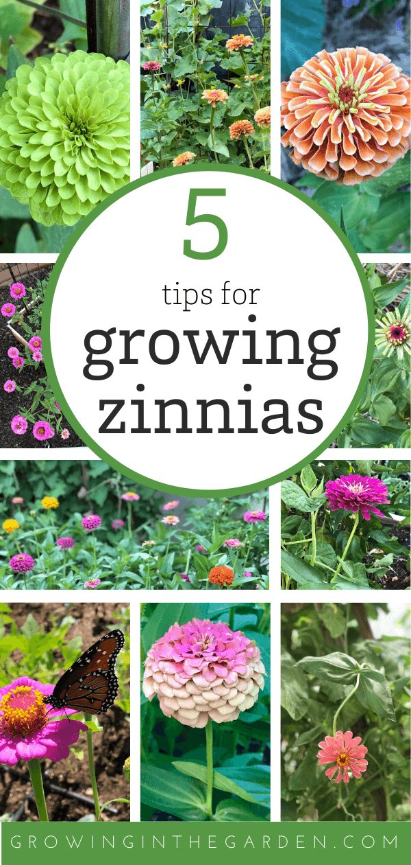How To Grow Zinnias 5 Tips For Growing Zinnias Growing In The Garden