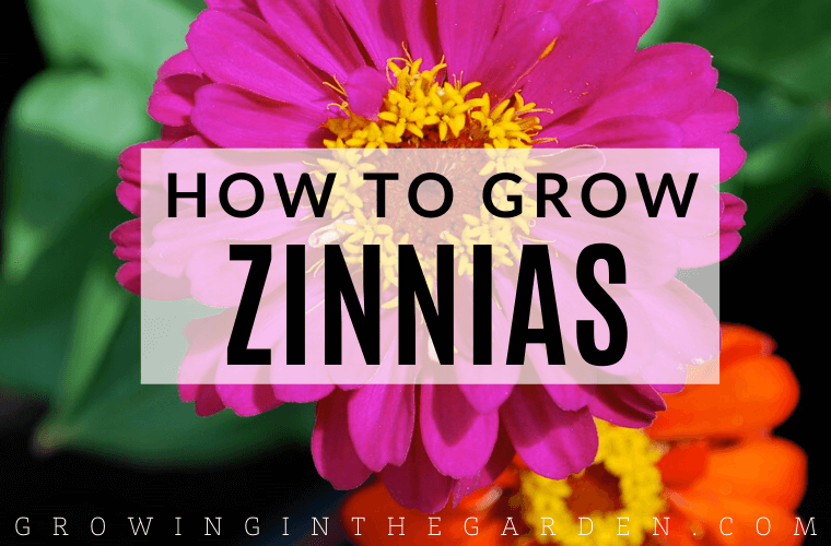 How to grow Zinnias - 5 Tips for Growing Zinnias