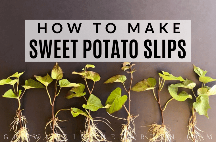 How to make sweet potato slips