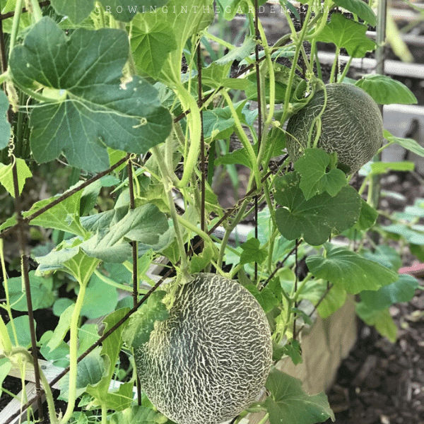 How To Grow Cantaloupe 9 Tips For Growing Cantaloupe Growing In The Garden Companion planting is based on the idea that certain plants are. tips for growing cantaloupe growing