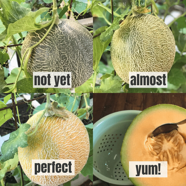 How to tell if cantaloupe is ripe