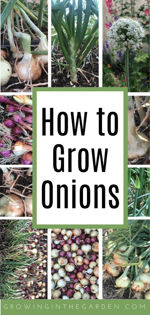 How to Grow Onions - 10 Tips for Growing Onions