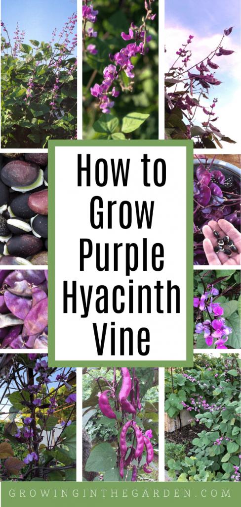 How to Grow Purple Hyacinth Bean Vine