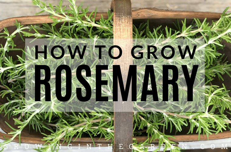 How to Grow Rosemary: 5 Tips for Growing Rosemary