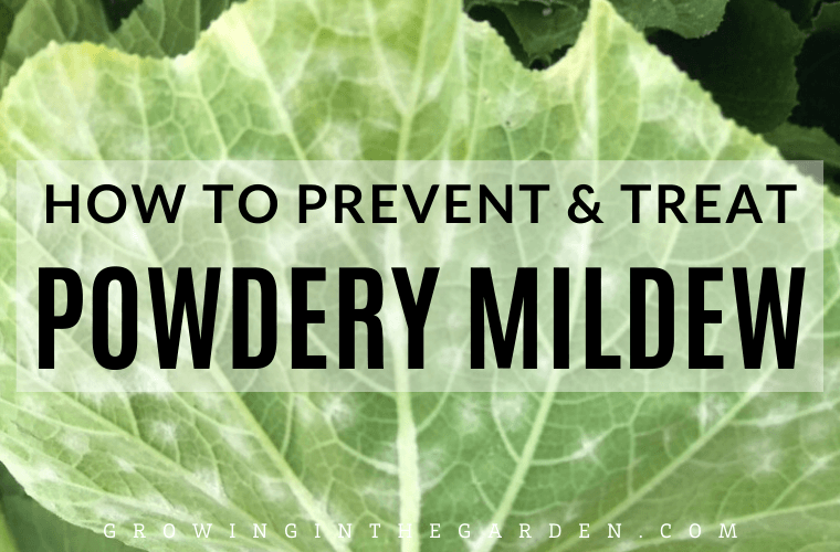 How to Prevent and Treat Powdery Mildew