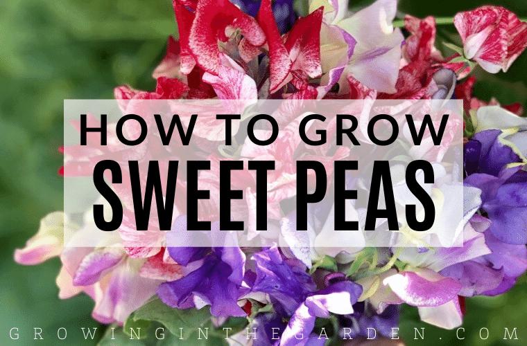 How to Grow Sweet Peas: 5 Tips for Growing Sweet Peas