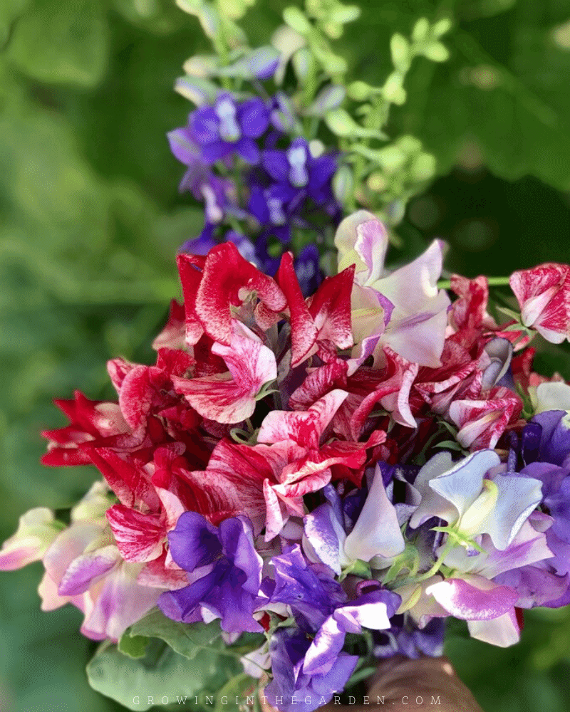 How to Grow Sweet Peas: 5 Tips for Growing Sweet Peas