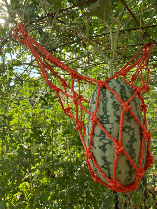 How to Grow Watermelon vertically