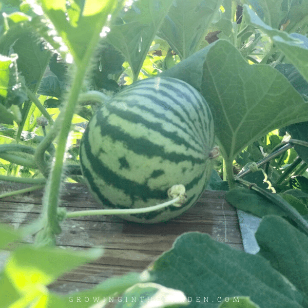 How To Grow Watermelon 7 Tips For Growing Watermelon Growing In The Garden