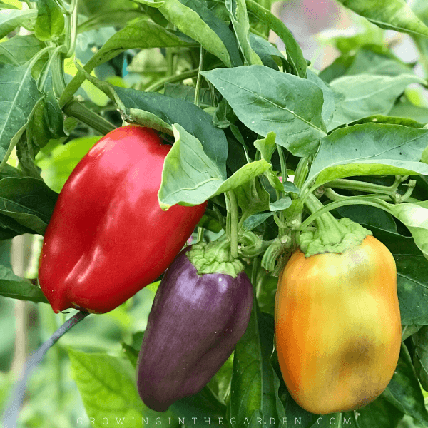 10 Easy to grow vegetables and herbs