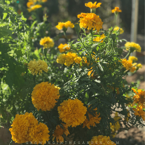 Plant marigolds as companion plants