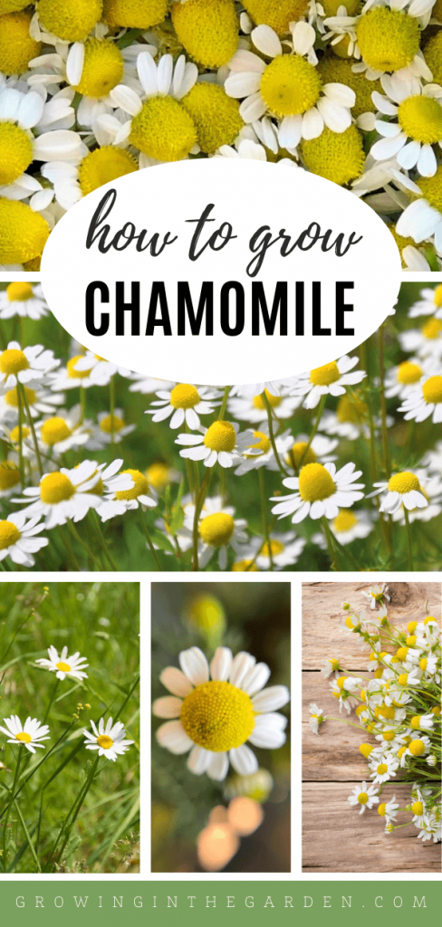 How to Grow Chamomile: 5 Tips for Growing Chamomile