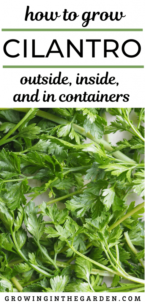How to Grow Cilantro: Outside, Inside and in Containers