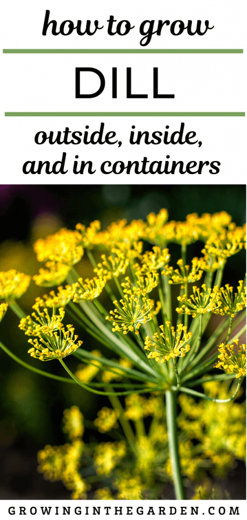 How to Grow Dill: Outside, Inside and in Containers