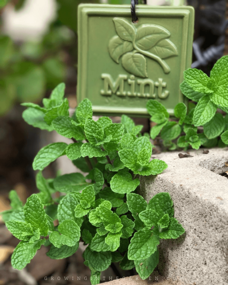 How to Grow Mint: 5 Tips for Growing Mint