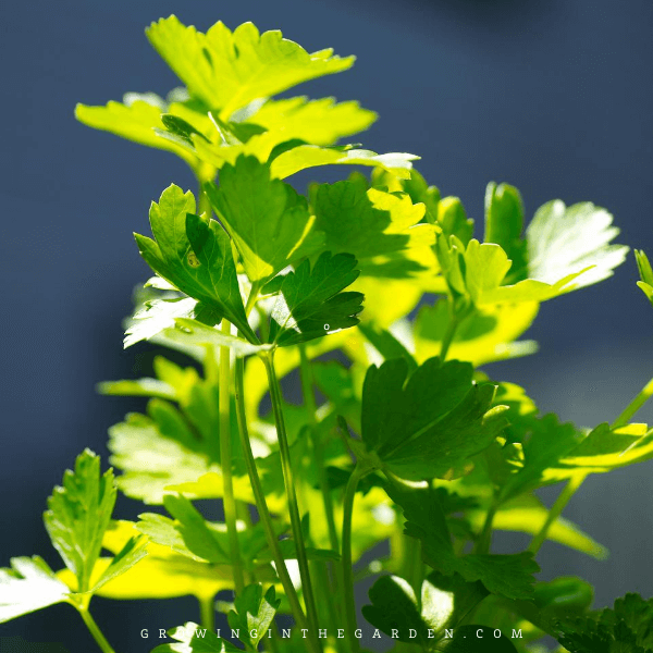How to Grow Parsley: Outside, Inside and in Containers