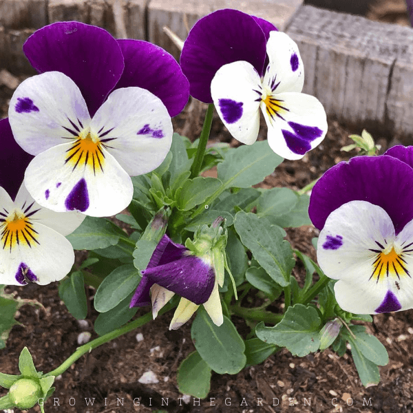 How to Grow Violas: 5 Tips for Growing Violas