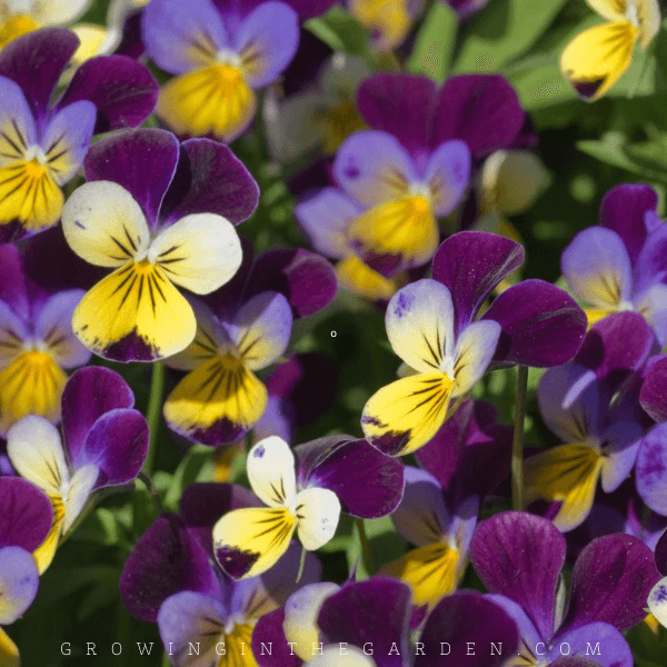 How to Grow Violets: 5 Tips for Growing Violets