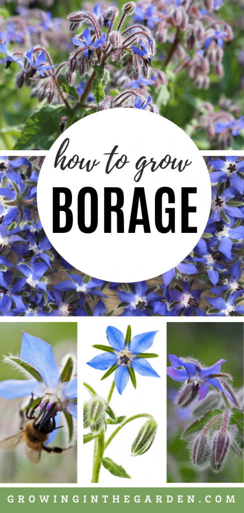 How to grow Borage