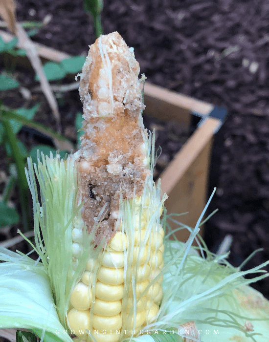 How to grow corn_ 10 Tips for growing corn (3) (1) (1)