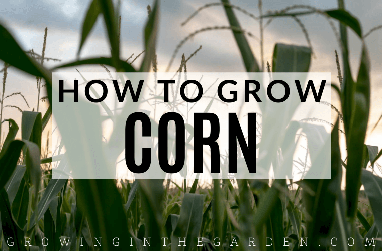 How to grow corn: 10 Tips for growing corn