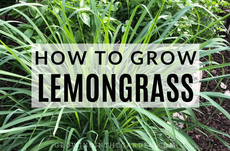 How to Grow, Harvest, and use Lemongrass