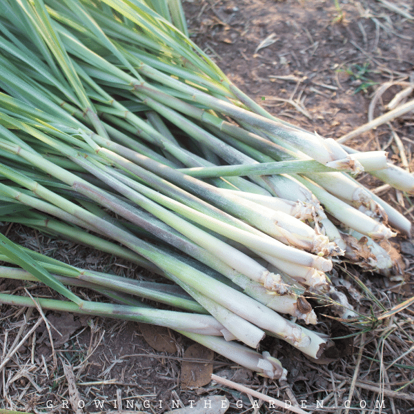 How to Grow, Harvest, Divide, and Use Lemongrass
