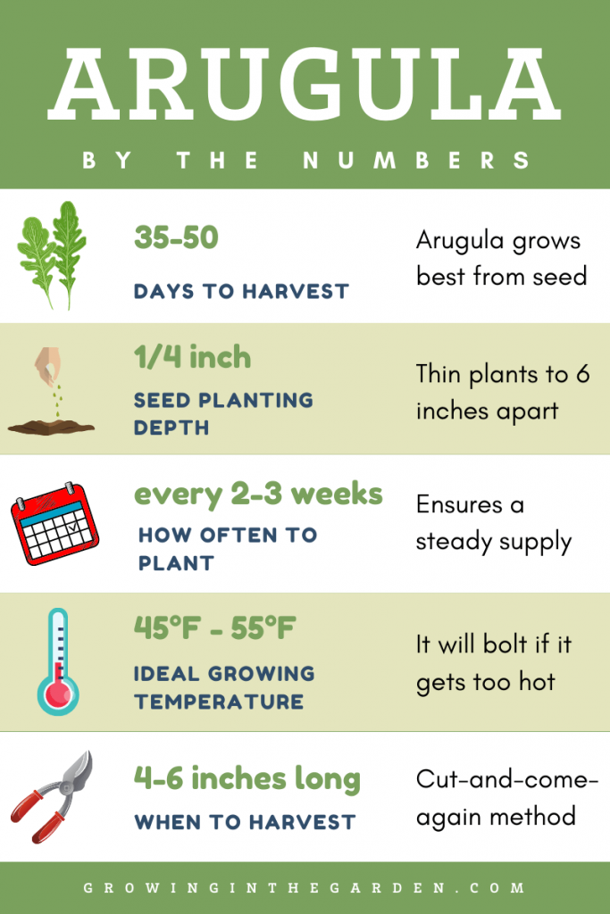 How to grow Arugula Infographic