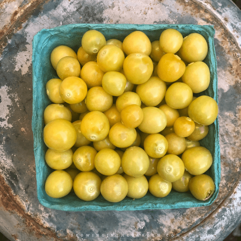 How to Grow Ground Cherries: 10 Tips for Growing Ground Cherries