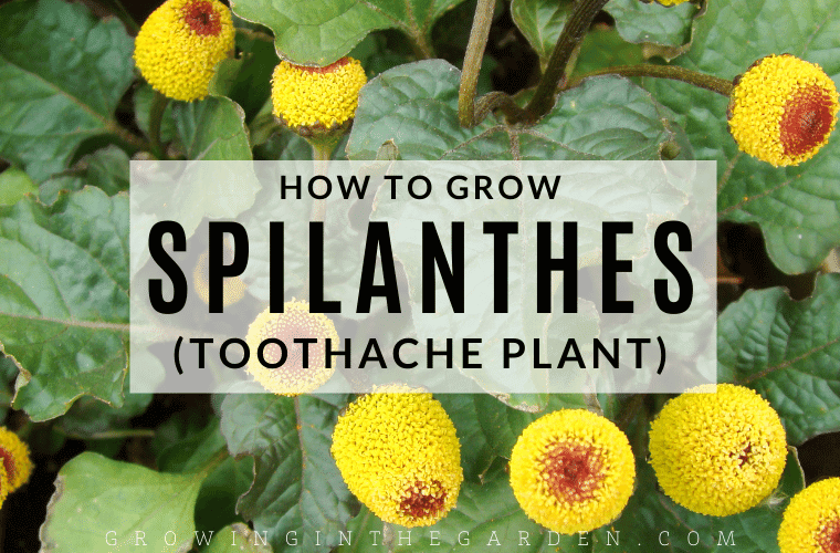How to Grow Toothache Plant: 5 Tips for Growing Spilanthes