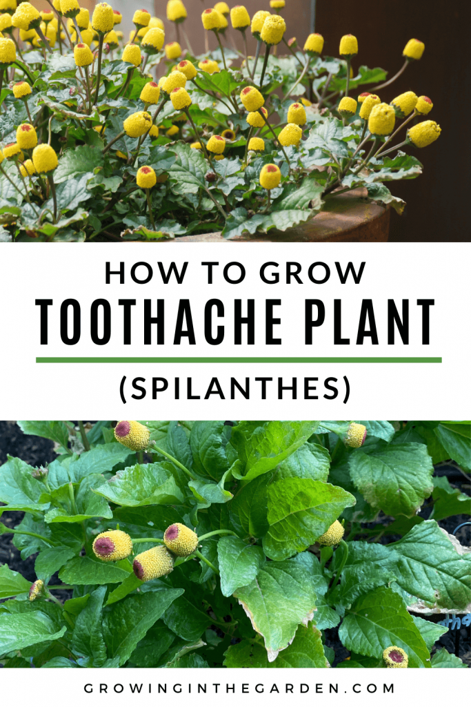 How to Grow Toothache Plant_ 5 Tips for Growing Spilanthes
