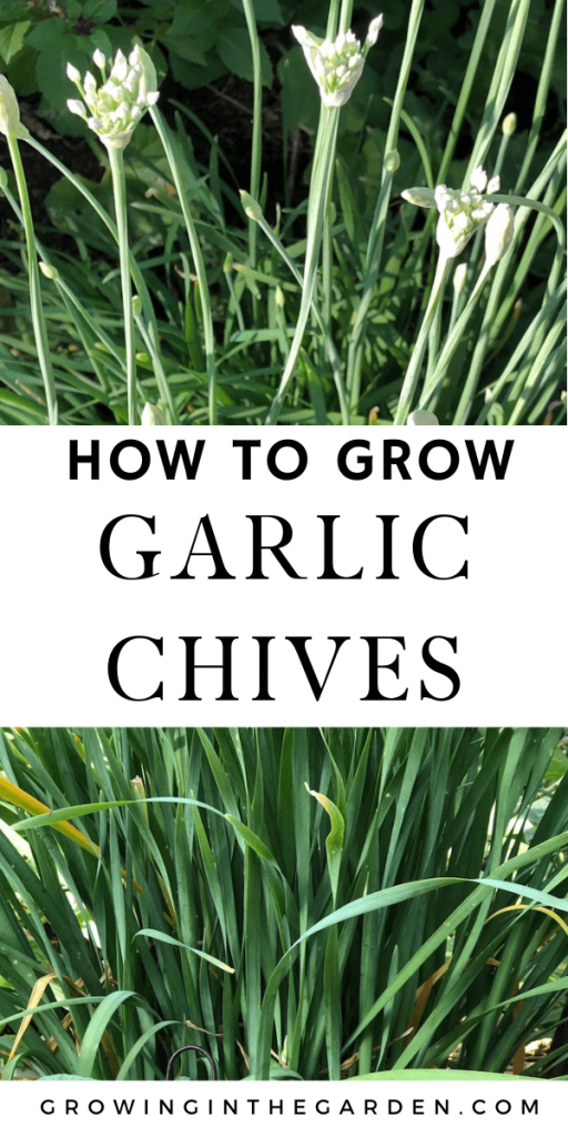How to Grow Garlic Chives: 5 Tips for Growing Garlic Chives