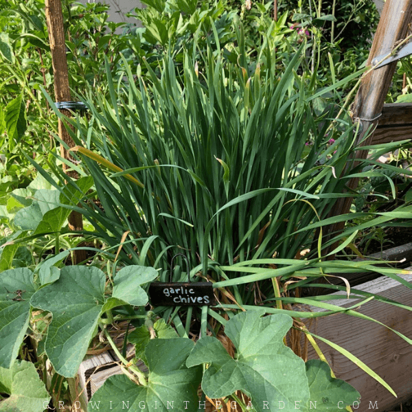 For a quicker harvest, plant garlic chives from transplants or divisions. Space plants about 12 inches apart.