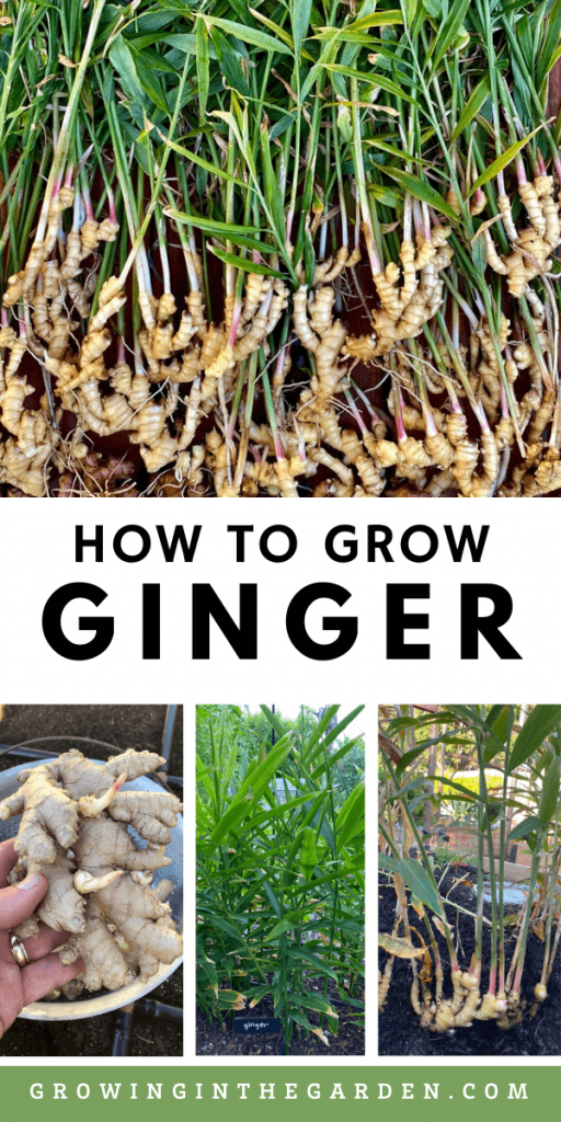 How to Grow Ginger: 8 Tips for Growing Ginger