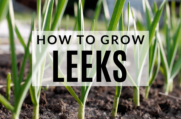 How to Grow Leeks: 8 Tips for Growing Leeks